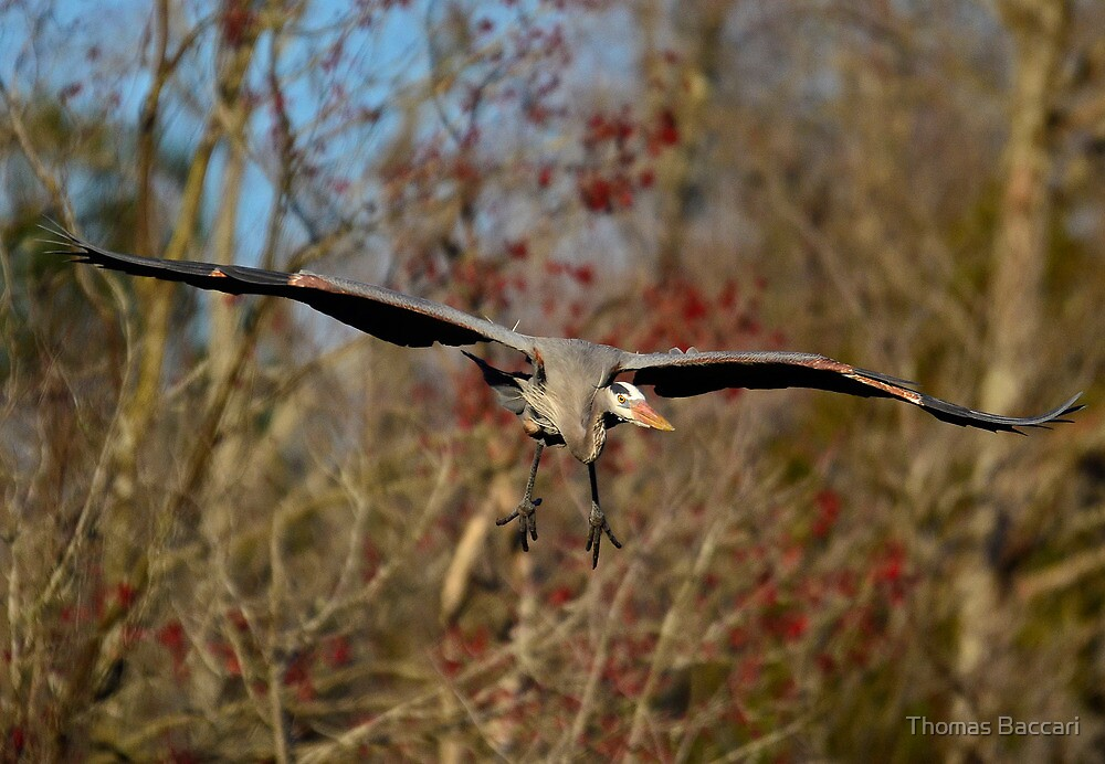 Great Blue Heron Headed Right For Me by TJ Baccari Photography