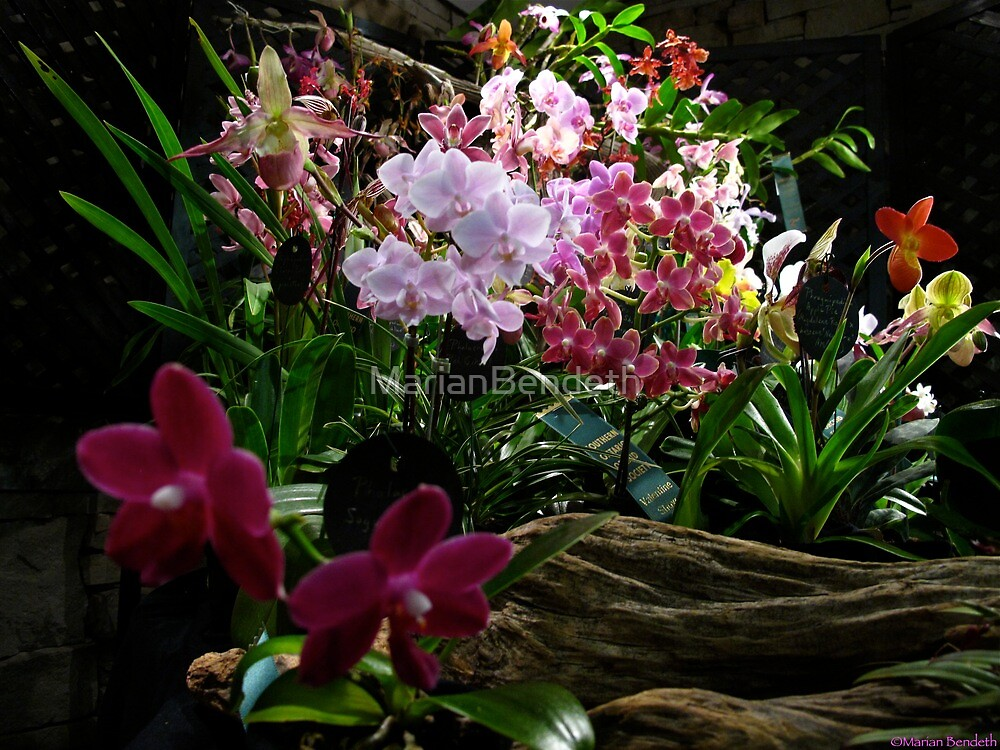 Array of Orchids by MarianBendeth