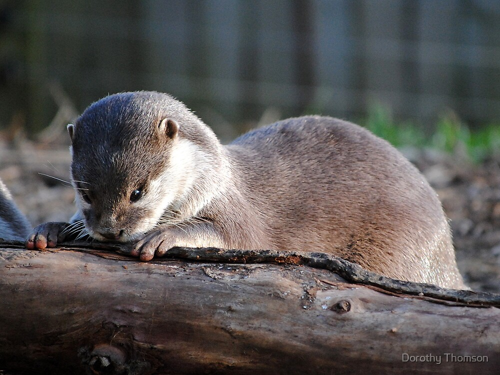 Nosey Baby Otter by Dorothy Thomson