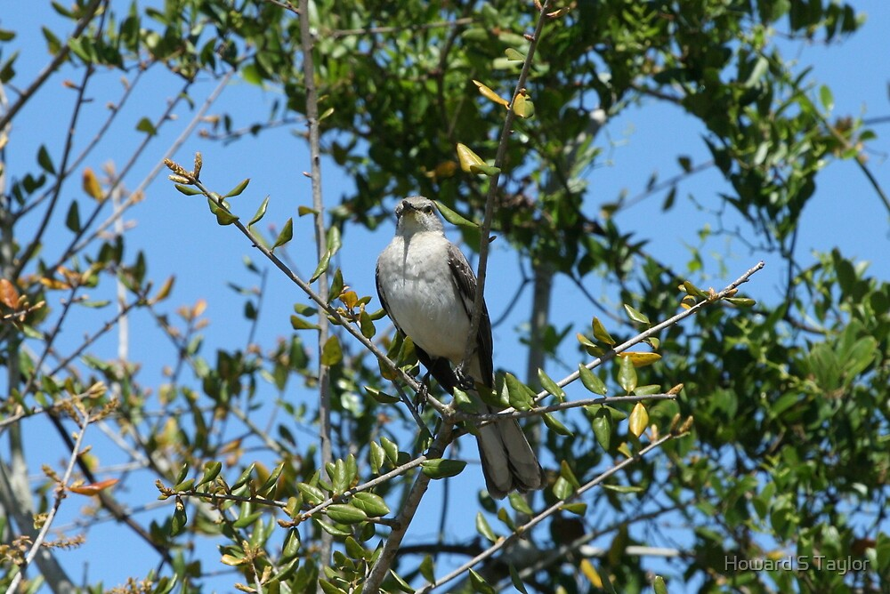 Northern Mockingbird by Howard S Taylor