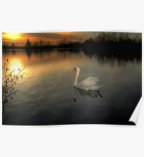 White Swan at Sunset  Poster