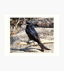 Fork Tailed Drongo Art Print