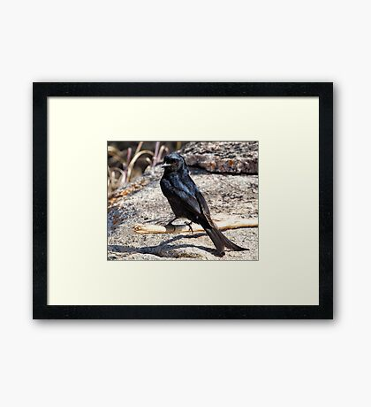 Fork Tailed Drongo Framed Print