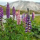 Lupins by Dilshara Hill