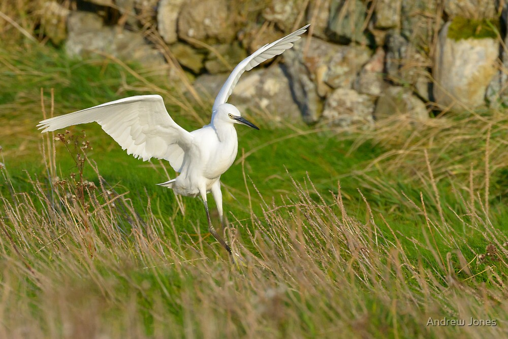 Egret lands, Bannow Island, County Wexford, Ireland by Andrew Jones
