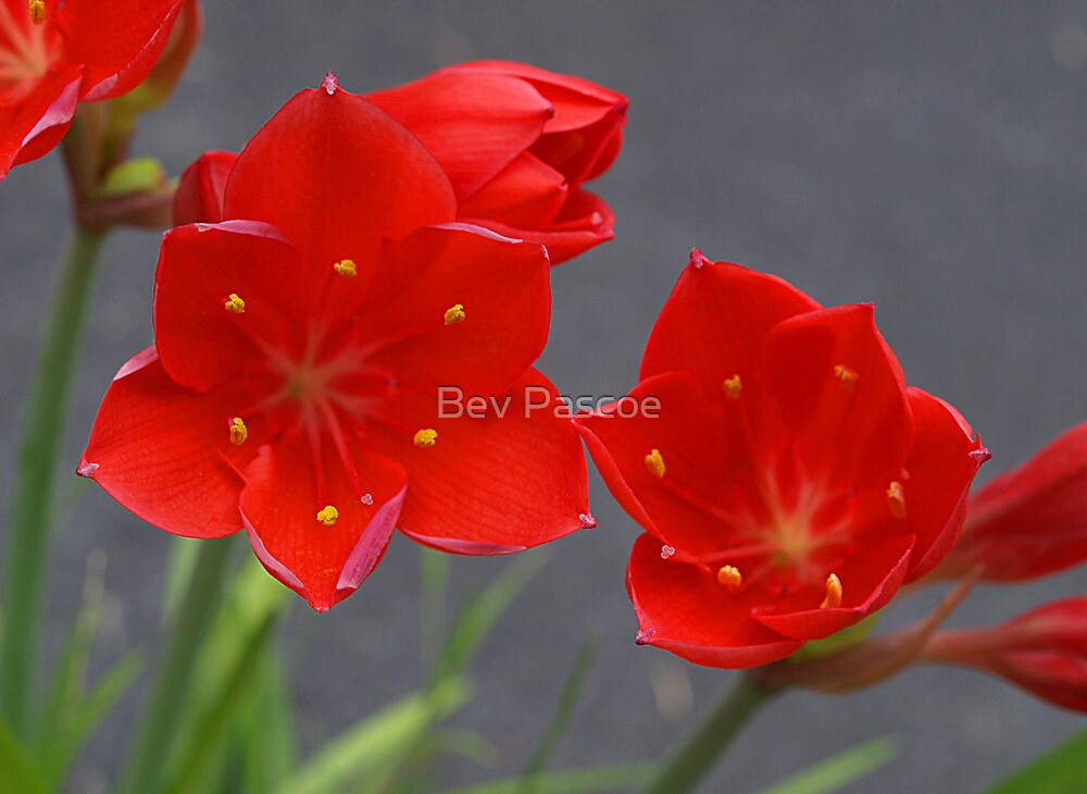 Valotta or Scarborough Lily by Bev Pascoe