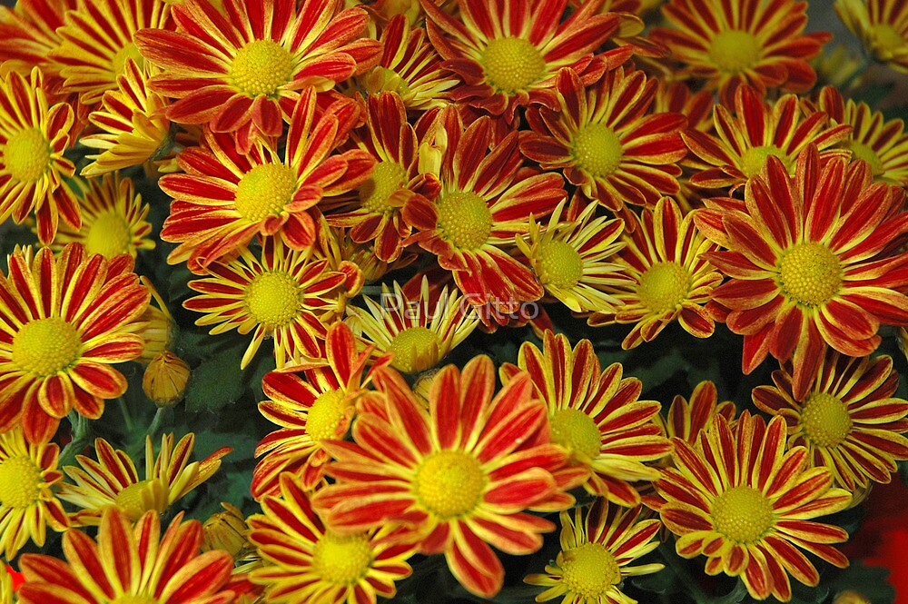 Mums - Red & Yellow by Paul Gitto