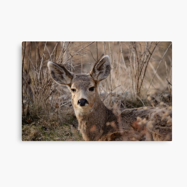 Fawn at sunset 2 Canvas Print