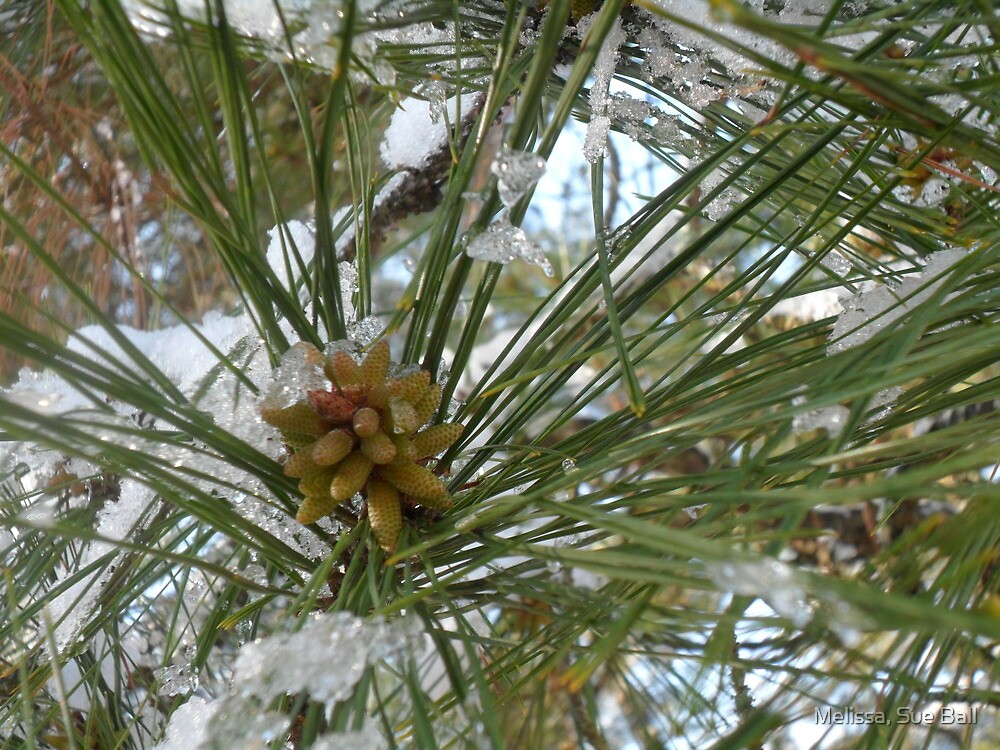 Snow Pine by Melissa, Sue Ball