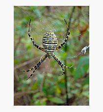 Banded Argiope Orb Weaver Spider - Argiope trifasciata Photographic Print