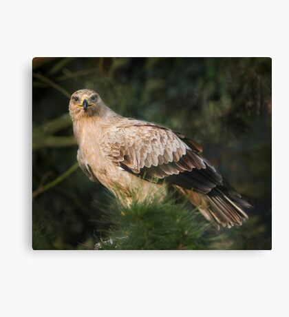 Tawny Eagle Canvas Print