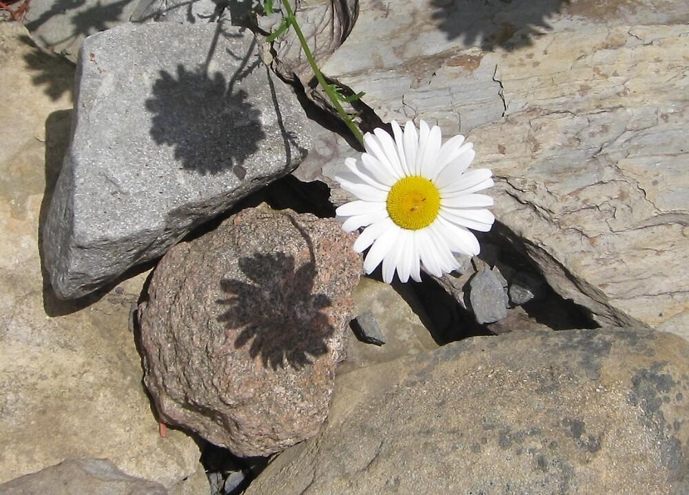 Daisy on Rock  by TCbyT