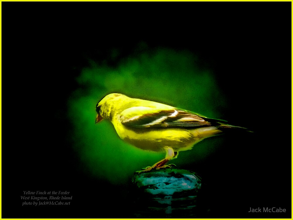 Yellow Finch at the Feeder by Jack McCabe