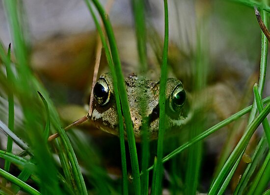 Froglet Keeking by George Crawford