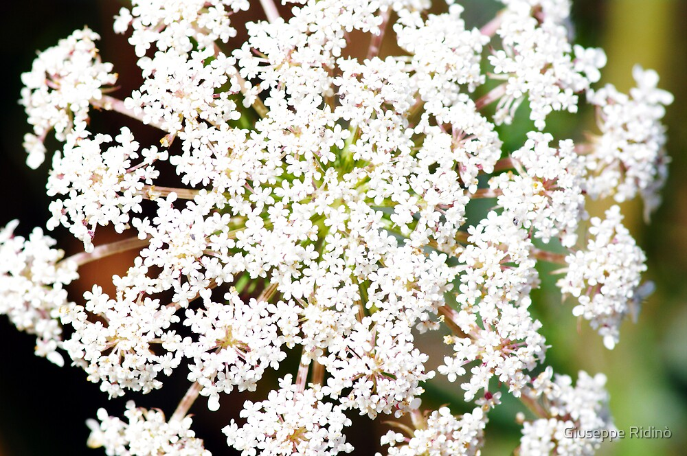 In my garden: small white flowers by Giuseppe Ridinò