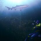 Grey nurse shark with scuba diver by Emma M Birdsey