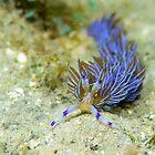 Purple dragon sea slug by Emma M Birdsey