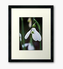 Single Snowdrop Framed Print