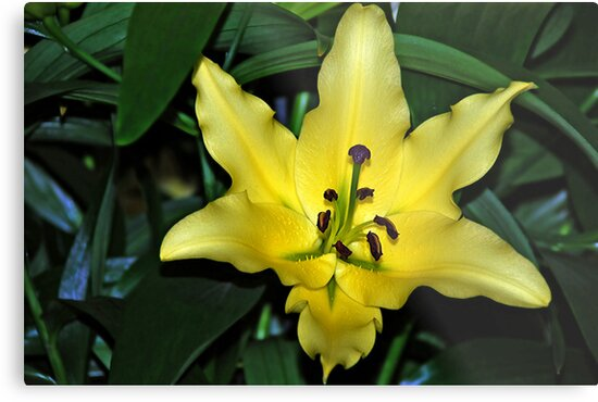 Yellow lily by Arie Koene