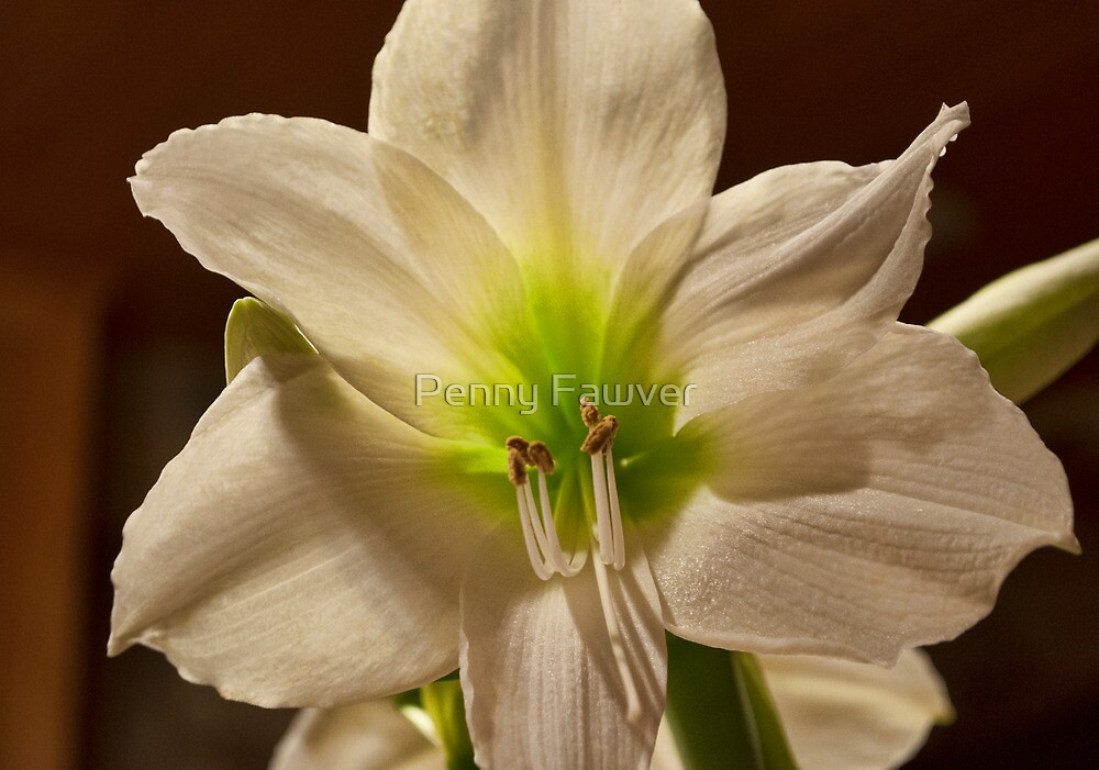 Amaryllis - white by Penny Fawver