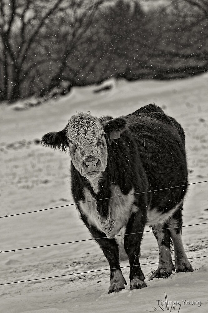 I Am Not A Happy Cow by Thomas Young