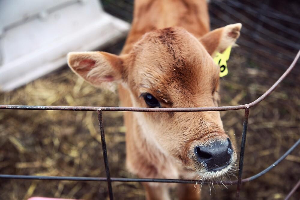 Calf in Wired Fence by Megan Schatzman