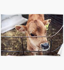 Calf in Wired Fence Poster