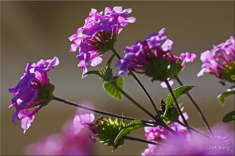 Lavender Lantana by Chet  King