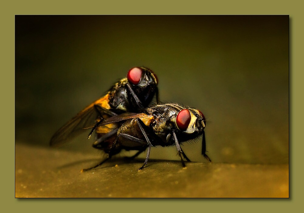 Naughty flies 01 by kevin chippindall
