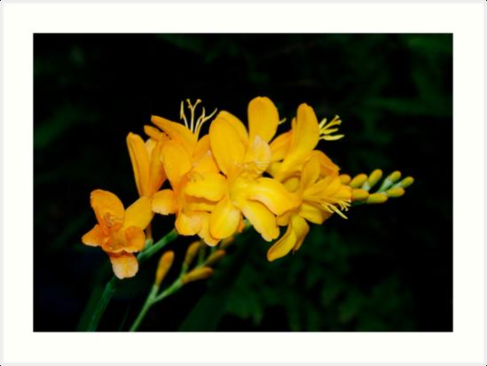 Yellow Freesia by AnnDixon