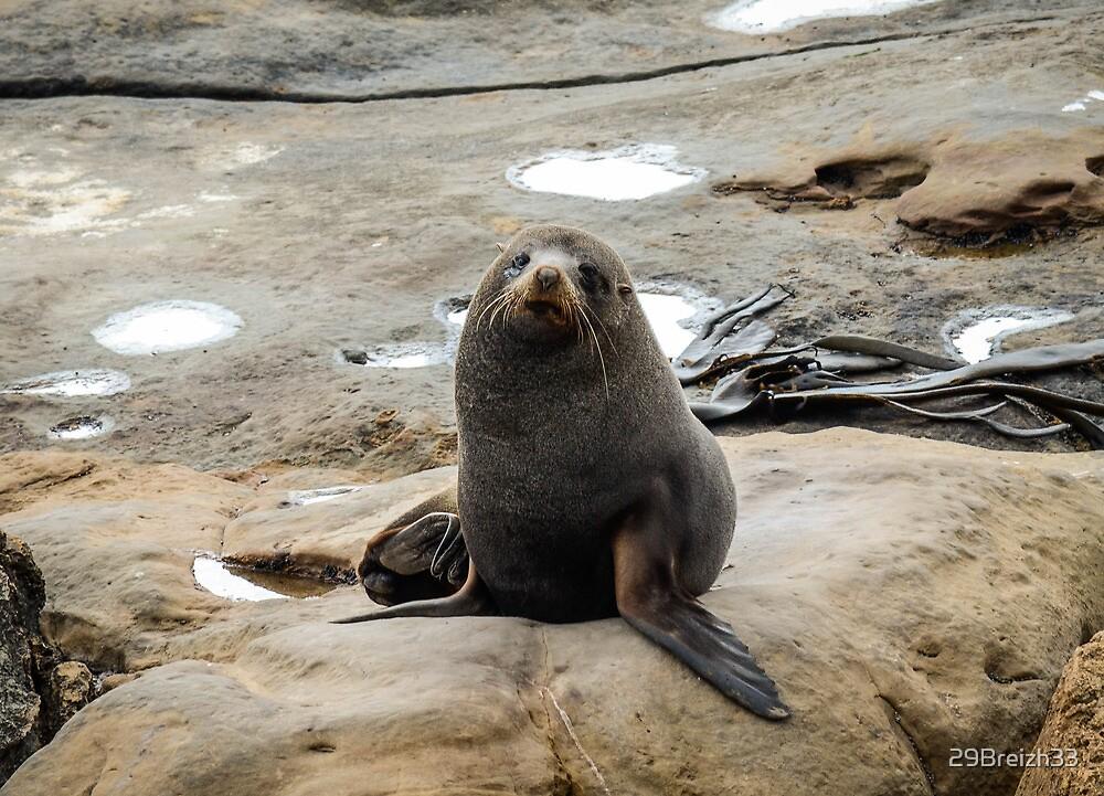 Fur Seal at Shag Point by 29Breizh33