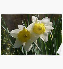 Daffodil Pair Poster