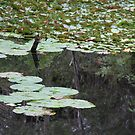 Lily Pads on the Dam by aussiebushstick