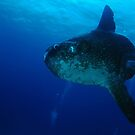 Sunfish (Mola Mola) Cocos Island, Indian Ocean, Australia by Sean Elliott