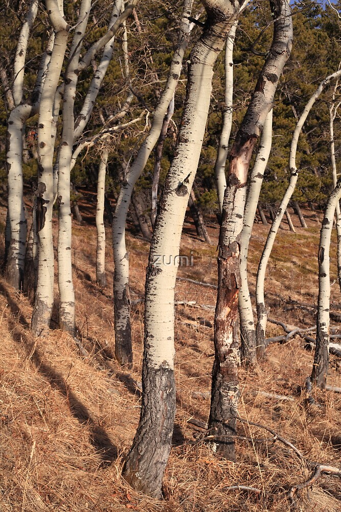 Birch woods by zumi