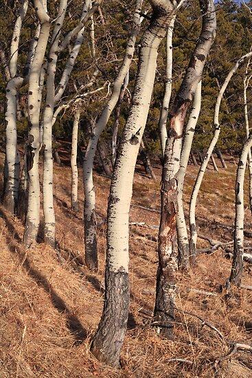 Birch woods by zumi