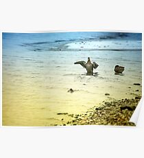 Ducks Near Shore Poster