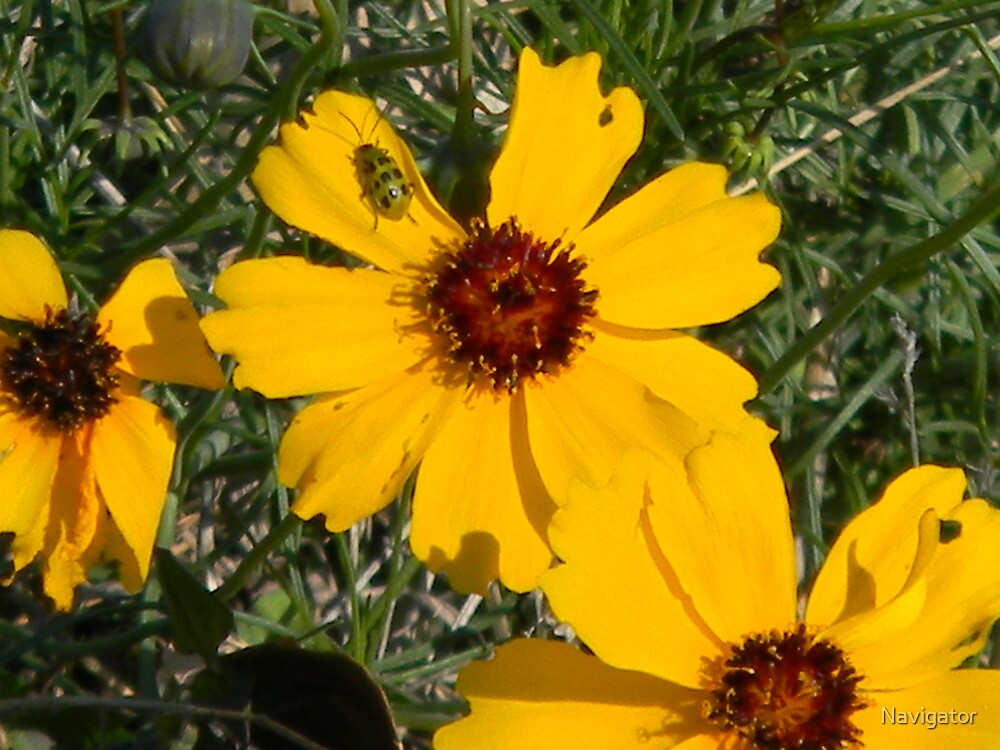 Gee, What's Eating Coreopsis? by Navigator