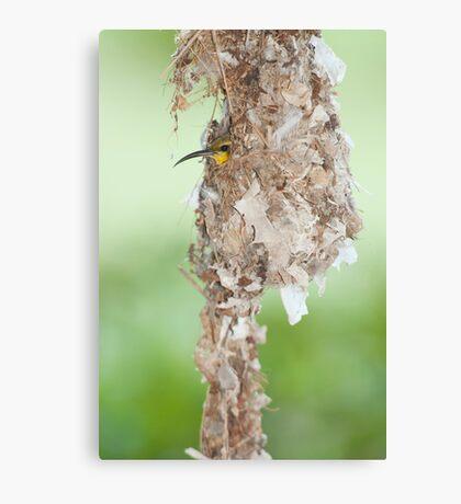 Tucked Up - sunbird nesting in far north Queensland Canvas Print