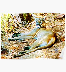 BB Mountain Lion Resting Poster