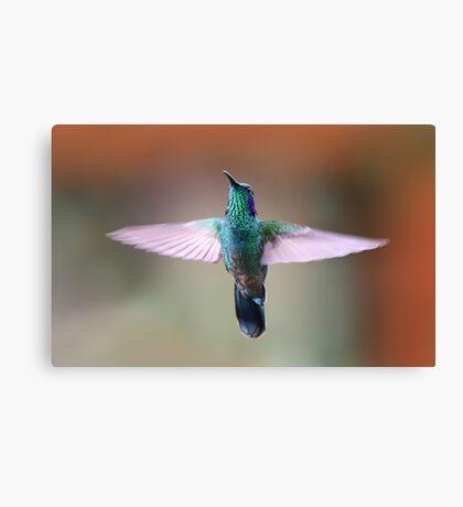 Green Violetear Hummingbird - Costa Rica Canvas Print
