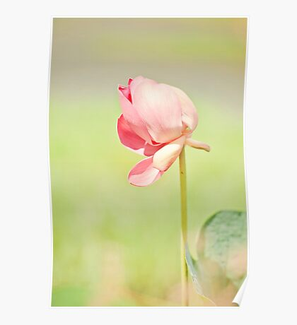 Windswept - lotus flower Poster