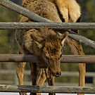 Elk Dilemma by lincolngraham