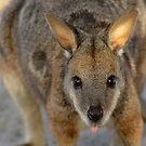 Tammar Wallaby by Stuart Robertson Reynolds