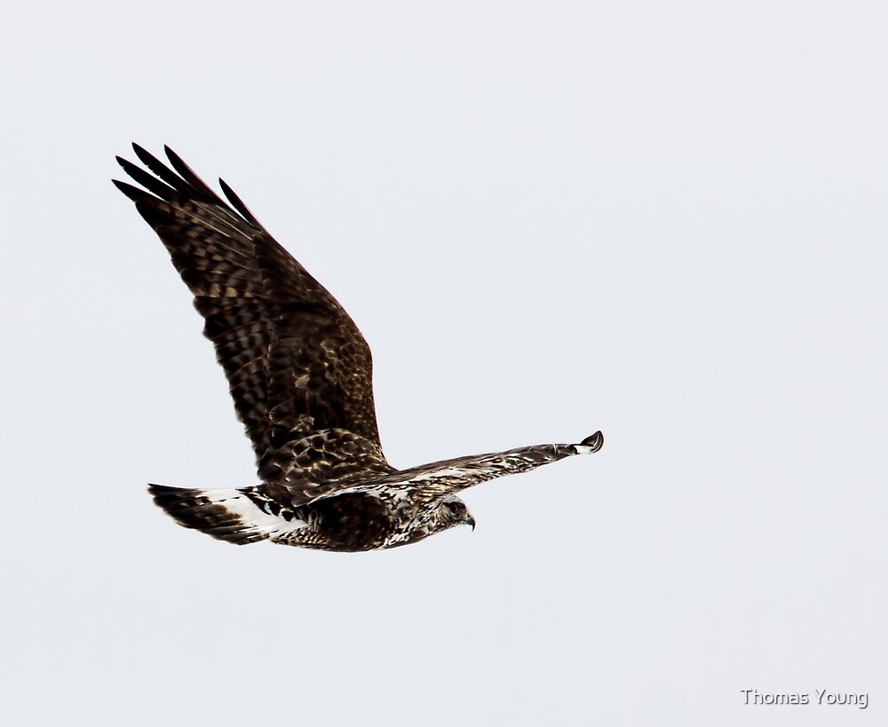 Rough-legged Hawk 1 by Thomas Young