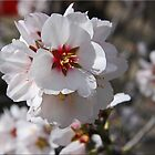 Blossoms by Chet  King