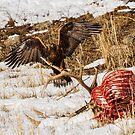 Golden Eagle by Rose Vanderstap