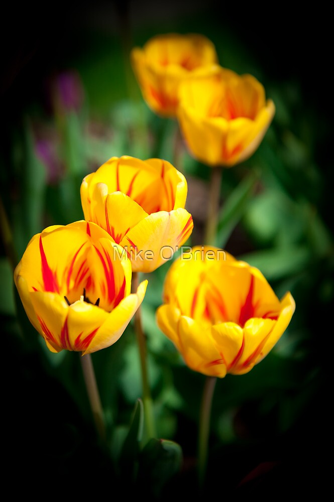 Yellow Tulips by Mike O'Brien