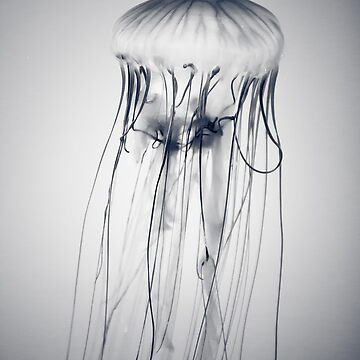 Jellyfish - Chrysaora fuscescens (?) by giuliomenna
