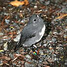 Stewart Island Robin by Jennifer Standing